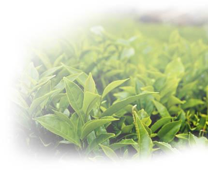 Dwa powody, dla których warto pić zieloną herbatę